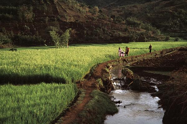 Reisfelder in Westjava, 1979