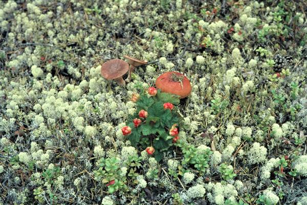 Pilze mit Moosbeeren im Nationalpark Lemmenjoki.