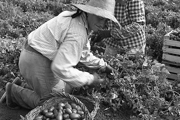 Zwei Bäuerinnen bei der Tomatenernte in Italien.