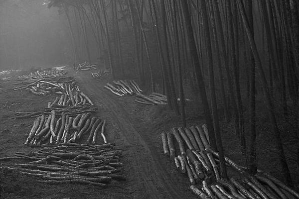 Gefälltes Holz liegt am Waldrand während der Treibjagd in Deutschland.