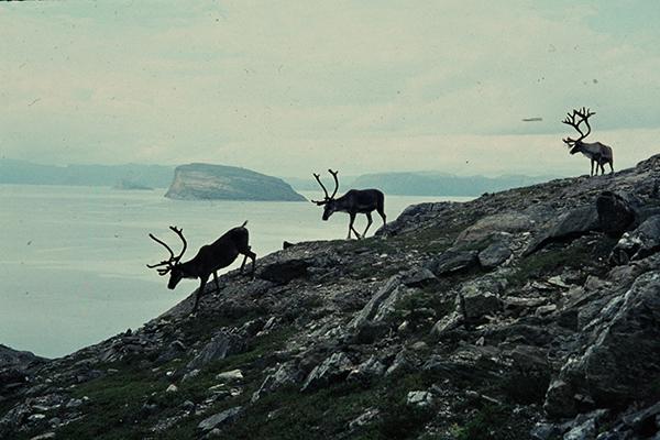 Rentiere auf dem Berg Salen ¸ber Hammerfest.