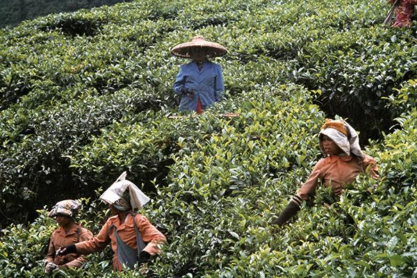 Teepfl¸ckerinnen auf einer Teeplantage am Puncak-Pass.