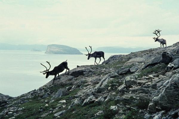Rentiere auf dem Berg Salen über Hammerfest.