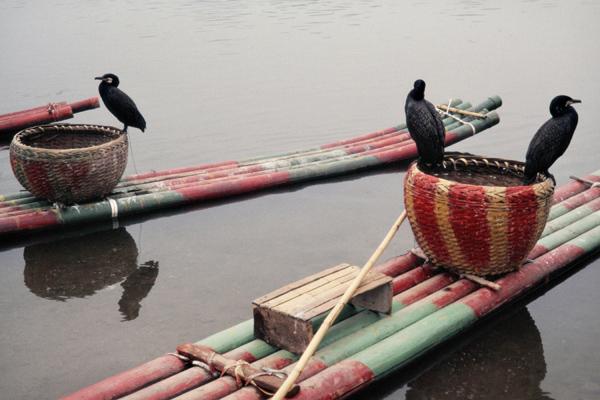 """Für Fischerei domestizierte Kormorane auf dem Li Jiang am """"Elefantenrüsselberg"""" Xiangbi Shan in Guiluin."""