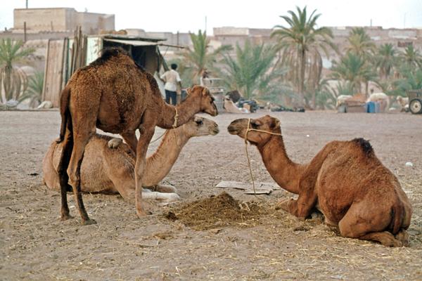 Kamelmarkt in El Qued, Algerien