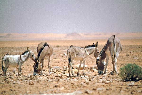 Wilde Esel bei El Golea, Algerien